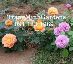 Hoa hồng bụi mini siêu nụ Terrazza juicy (terrazza cam carot)