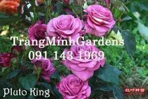 Hoa hồng Terrazza (Hoa hồng siêu nụ, hồng mini)