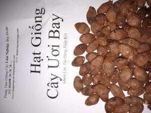 Bán hạt giống cây ươi bay (đười ươi)