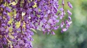 Cây giống hoa tử đằng, kỹ thuật chăm sóc hoa tử đằng ra nhiều hoa