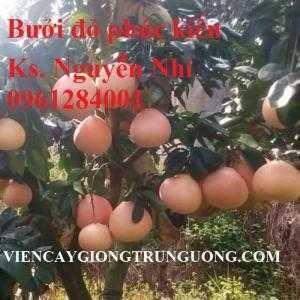 Mua cây giống bưởi đỏ Phúc Kiến, bưởi vàng Phúc Kiến