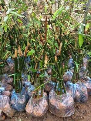 chuyên cung cấp giống cây măng tre bát độ, chuẩn giống, giao hàng toàn quốc