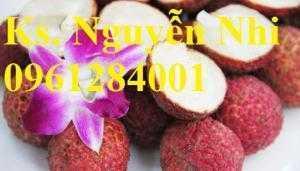 Chuyên cung cấp giống cây vải không hạt, kỹ thuật trồng cây vải không hạt, cây giống uy tín, chất lượng cao