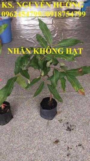 Bán giống cây nhãn không hạt chuẩn giống nhập khẩu, giao cây toàn quốc,