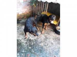 Nhận phối chó Rott Dòng Đại Bình Dương