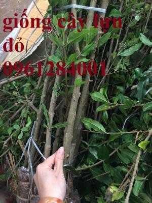 Cung cấp giống cây lựu lùn đỏ ấn độ, lựu lùn đỏ F1, lựu lùn đỏ cao sản, cây giống nhập khẩu uy tín, chất lượng