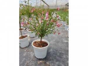 Tree Hoa cẩm quỳ nhỏ