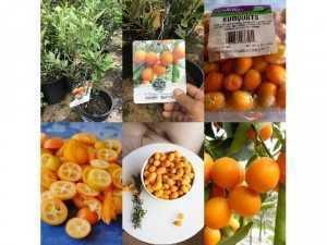 Cây Kim Quất Ngọt  ( crispy kumquat  )