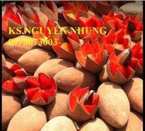 Cung cấp giống cây hồng xiêm ruột đỏ nhập khẩu, cam kết chất lượng cây giống
