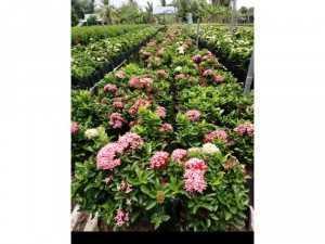 Cung cấp cây cảnh cỏ kiểng trang trí sân vườn đẹp