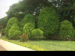 Cỏ nhung nhật cỏ trang trí sân vườn