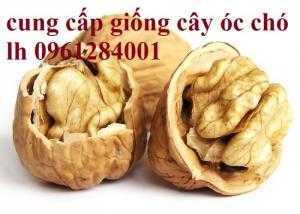 Bán giống cây óc chó nhập khẩu - viencaygiongtrunguong