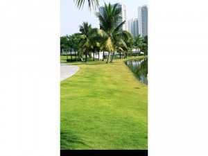 Cỏ kiểng cỏ trang trí sân vườn