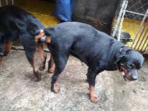 Phối giống chó Rottweiler tại Bình Dương