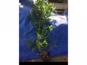 Cung cấp cây si rô giống ương từ hạt