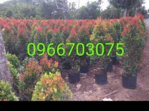 Cây hồng lộc cây cho công trình Nhà Vườn Đức Tiến Phát