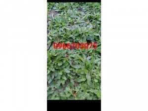 Cỏ lá rừng Thái giống mới