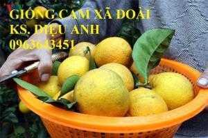 Cung cấp cây giống cam Xã Đoài, giống cam Xã Đàn, giống cam chín sớm, giống cam chín muộn chuẩn