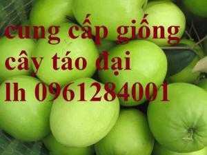 Cung cấp giống cây táo đại, táo quả to, giống cây táo F1, chất lượng, uy tín