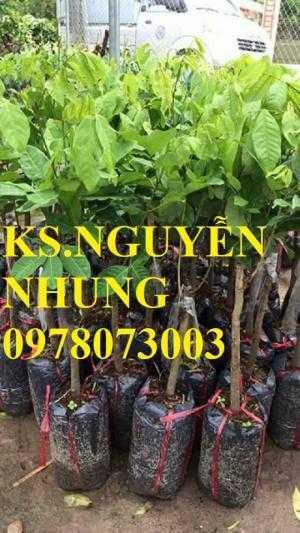 Địa điểm bán giống cây chôm chôm, quả ngọt, róc hạt, năng suất cao, cam kết chất lượng cây giống