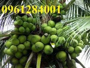 Cây dừa xiêm xanh lùn, dừa lùn, dừa xiêm xanh, giống cây dừa cho năng suất cao