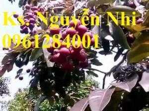Địa chỉ cung cấp giống cây nhãn tím, cây nhãn, cây giống mới lạ, uy tín, chất lượng