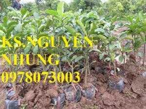 Chuyên cung cấp giống cây bưởi năm roi chuẩn giống, năng suất cao, giá cả hợp lý