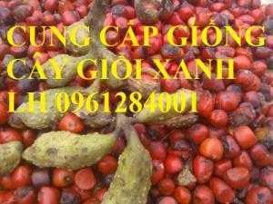 Cung cấp giống cây giổi xanh, cây giổi hạt, cây giổi, cây giống đầu dòng, chất lượng cao, giao hàng toàn quốc