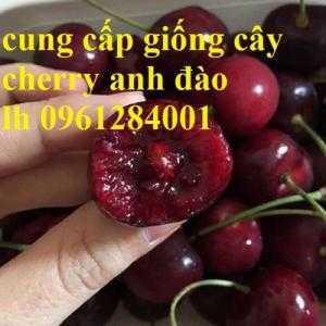 Cây giống cherry anh đào, cherry mỹ, cherry úc, cây cherry, cây giống nhập khẩu uy tín