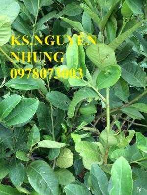 Địa điểm bán giống cây chanh vàng eureka chuẩn giống, năng suất cao, giao cây toàn quốc