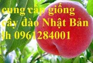 Cung cấp giống cây đào tiên chịu nhiệt Nhật Bản, đào ăn quả, đào Nhật Bản, uy tín, chất lượng