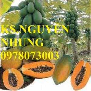 Cung cấp giống cây đu đủ Đài Loan chuẩn giống, hướng dẫn kỹ thuật trồng, giá cả hợp lý
