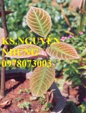 Cung cấp giống cây khôi nhung tía, cây cơm nguội chuẩn giống, năng suất cao