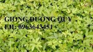 Cung cấp cây giống đương quy, hạt giống đương quy Nhật, hạt đương quy Trung, đương quy trắng