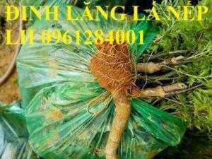 Cung cấp giống cây đinh lăng, đinh lăng lá nếp, đinh lăng lá nhỏ, số lượng lớn, giao hàng toàn quốc