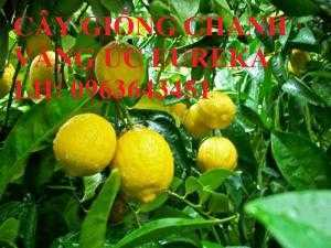 Cung cấp cây giống chanh vàng Mỹ, cây giống chanh vàng Úc, cây giống chanh vàng Eureka nhập khẩu