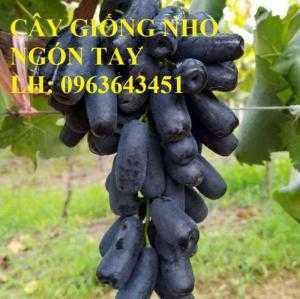 Cung cấp cây giống nho ngón tay đen, giống nho đen Úc trái dài, giống nho đen Mỹ trái dài nhập khẩu chuẩn, uy tín, chất lượng