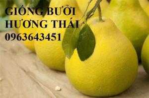 Địa chỉ uy tín cung cấp cây giống bưởi hương Thái Lan, bưởi siêu ngọt Thái, bưởi vàng Thái chuẩn
