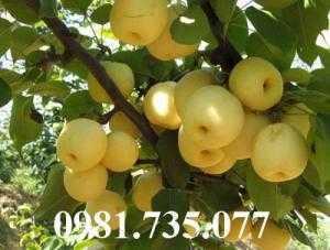 Cung cấp cây giống lê vàng, lê vàng, cây lê vàng, lê, cây lê