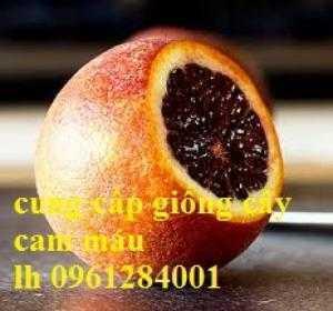 Địa chỉ cung cấp giống cây cam máu uy tín, chất lượng, giao hàng toàn quốc