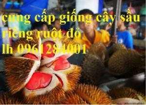 Cung cấp giống cây sầu riêng ruột đỏ, sầu riêng musang king, sầu riêng malaysia, uy tín, chất lượng
