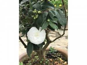 Hoa Trà mi trắng cây lớn