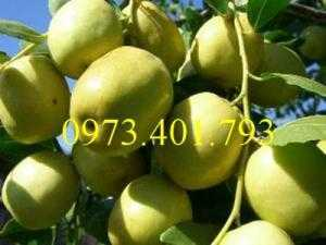 Giống cây Táo Đào Vàng, Táo Đào Vàng, cây Táo Đào Vàng, cây táo, kĩ thuật trồng táo đào vàng