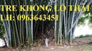 Cung cấp cây giống tre khổng lồ Thái, cây giống măng tre khổng lồ Thái Lan nhập khẩu chuẩn, uy tín