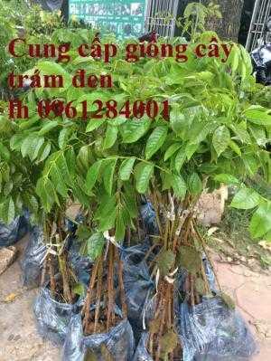 Cung cấp giống cây trám đen, kỹ thuật trồng cây trám đen cho năng suất chất lượng cao