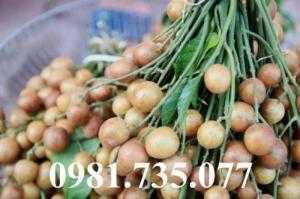 Cung cấp cây giống quất hồng bì, quất hồng bì, cây quất hồng bì, cây quất