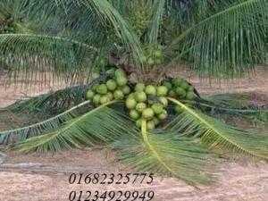 Cây giống dừa xiêm dây