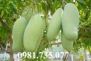Cung cấp giống cây xoài Đài Loan, cây xoài Đài Loan, cây xoài, thông tin cây xoài