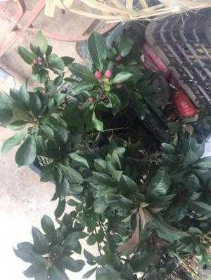 Cây giống táo đỏ lùn