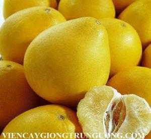 Viện cây giống trung ương, cung cấp giống cây bưởi hương thái, giống nhập khẩu.